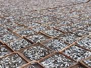 [Foto] Campos de pescados secos en provincia vietnamita de Quang Tri