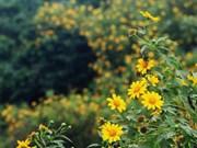 (Video) Girasoles silvestres florecen en el parque nacional de Ba Vi en Hanoi