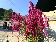 (Foto) Celebra etnia minoritaria Cong Festival de Flor de Celosia Cristata