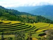 Contemplan terrazas de arroz hermosas en Hoang Su Phi