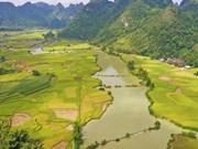 Temporada de cosecha de arroz en provincia vietnamita de Cao Bang