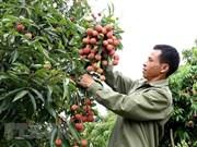 Vietnam, segundo exportador mundial de lichi