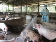 [Video] Vietnam contra la peste porcina africana