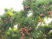 (Televisión) Impulsa Vietnam exportaciones de frutas
