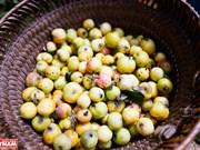 Temporada de cosecha de las manzanas de Xim Vang