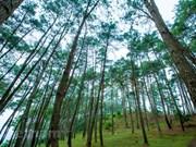 Perdido en el bosque de pinos Yen Minh