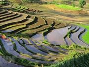 Belleza espectacular de las terrazas arroceras en la comuna de vietnamita Y Ty