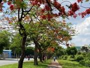 Contemplan la belleza de flamboyán en Vietnam