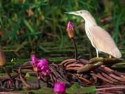 Admirar la belleza de aves en Parque Nacional Tram Chim