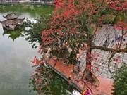 Floración del algodonero rojo embellece primavera de Vietnam