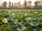 Contemplar belleza de 170 variedades de flor de loto en Hanoi