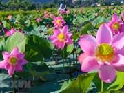 Flores de loto embellecen ciudad vietnamita de Da Nang
