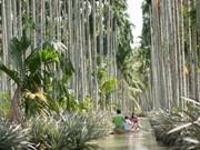 [Fotos] Plantación de ananás en el cayo Tac Cau, en la provincia sureña de Kien Giang