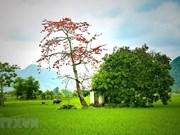 [Fotos] Belleza de la planta Bombax ceiba en la primavera en aldeas de Vietnam