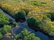 [Foto] Bosque de manglares Ru Cha en otoño