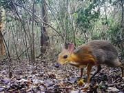 [Foto] Captan en Vietnam imágenes de diminuto mamífero que se creía extinguido