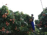 [Foto] Cosecha de lichi en provincia norteña Hai Duong