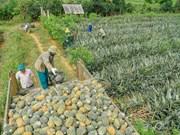 [Foto] Temporada de cosecha de piña en Dong Giao