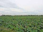 [Foto] Campos de loto en Ha Nam durante temporada de cosecha