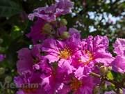 Contemple la belleza de flores de múltiples colores en el verano de Hanoi