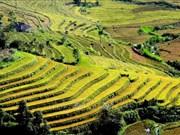 Belleza espectacular de las terrazas arroceras en la comuna de Ta Leng