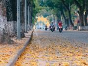 La belleza de Hanoi durante la caída de las hojas de dracontomelon