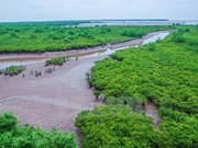 Cultivo de bosques de manglares, protección efectiva de diques marinos