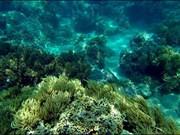 Buscan recuperar coral mediante arrecifes artificiales en costa de Vietnam