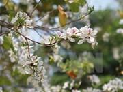 Celebrarán en Vietnam festival de Flor de Bauhinia blanca en marzo de 2017