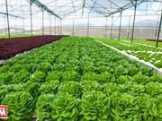 Ciudad antiplana vietnamita será primer centro de hortalizas en Sudeste de Asia