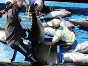 Aumenta exportación de atún vietnamita a Estados Unidos