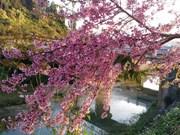 Da Lat celebrará primer festival de flor de cerezo