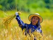 Tailandia venderá todo el arroz en reserva en 2017