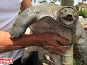Crianza de tortuga de caparazón blando carunculada en Khai Thai