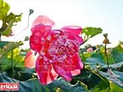 Los doce extraños lotos de la laguna de Ninh So