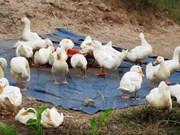 Refuerzan medidas contra gripe aviar en provincia vietnamita