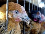 Vietnam extrema medidas contra la penetración de gripe aviar altamente patógena