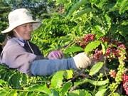 Sector cafetero vietnamita busca crecerse