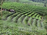 Firma nipona espera colaborar con Vietnam en producción de té