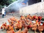 Registran nuevo brote de gripe aviar A/H5N6 en provincia vietnamita