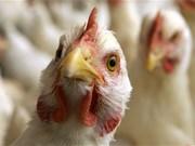 Vietnam se prepara ante alto riesgo de penetración de gripe aviar
