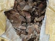 Expertos vietnamitas desmienten supuestas propiedades medicinales de pangolines