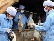 Provincia vietnamita refuerza acciones tras detección de nuevo brote de gripe aviar