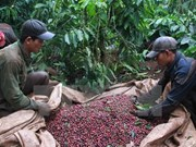 Sector cafetero de Vietnam por fomentar capacidad de adaptación al cambio climático