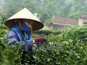 Sudcorea ofrece asistencia a Vietnam en cultivo de té