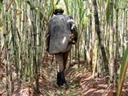 Indonesia se esfuerza para producir 1,2 millones de toneladas de azúcar en 2017