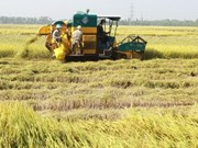 Vietnam: sexto mayor productor mundial de arroz