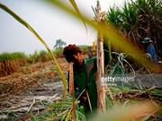 Tailandia incrementa producción de azúcar en cosecha 2016-2017
