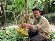 Can Tho busca exportar plátanos a Sudcorea