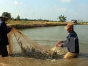 Provincia vietnamita se esfuerza por desarrollo sostenible de industria camaronera